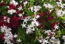 Oh the smell of Jasmine